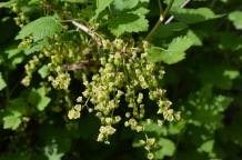 red currants forming